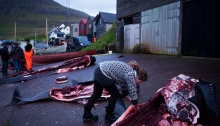 Fríhild Holmsund makes cuts of leftover meat after a whale hunt in the Faroe Islands. Photo © Katie Currid